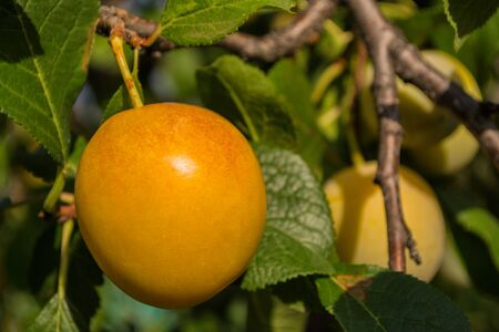 Ripe yellow plums on plum tree. Closeup of yellow plums. Soft selective focus. Stockfoto