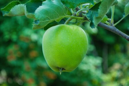 Green apples on a tree. Green apples on a branch ready to be harvested, outdoors, selective focus. Fresh green apples on tree in summer garden. Green apples on tree close up.