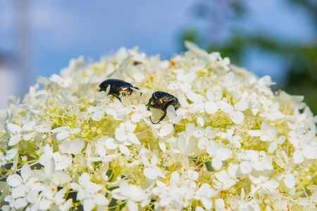 Golden chafer (Cetonia aurata) sitting on white flowers. Insect pest on a flowers petal. Against the sky. Insect closeup. 版權商用圖片