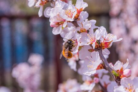 Bee (Anthophila) on cherry flowers (Prunus tomentosa) close-up. Spring blooming garden. Soft selective focus.