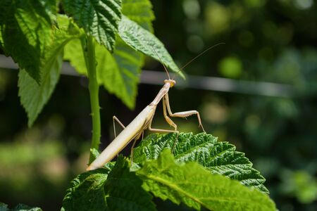 Light Mantis. Light mantis sits on the green leaves of a raspberries in the garden. Light mantis close up.