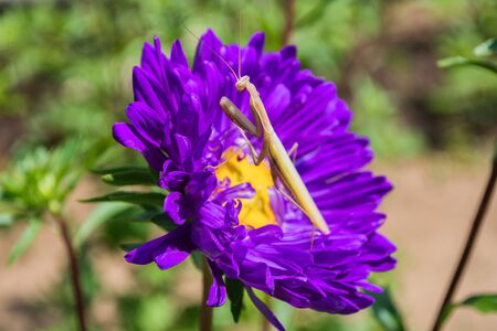 Praying Mantis Insect on a flower in the garden. Light mantis, sitting on asters petals. Mantis close up.