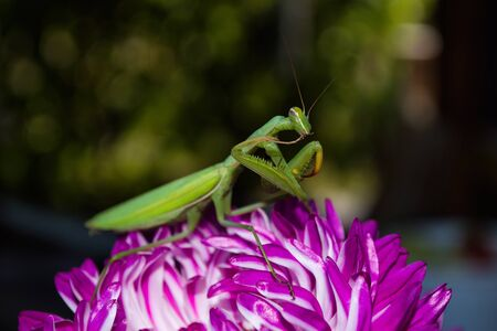 Praying Mantis Insect on a flower in the garden. Green mantis, sitting on asters petals. Mantis close up.