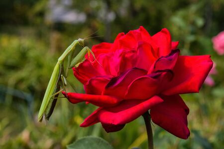 Praying Mantis Insect on a flower in the garden. Green mantis, sitting on rose petals. Mantis close up. Archivio Fotografico