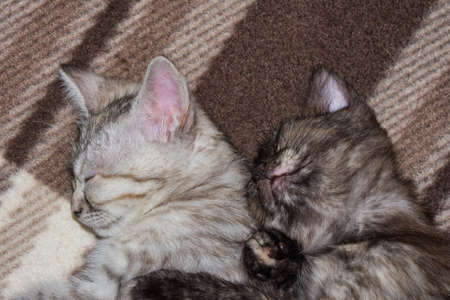 Little kittens sleep on a gray plaid, hugging each other. Close up view. Stock Photo