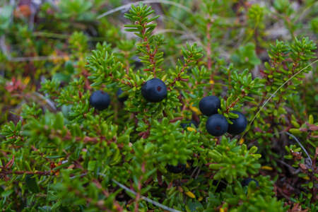 Bush of crowberryin the murmansk forest 스톡 콘텐츠