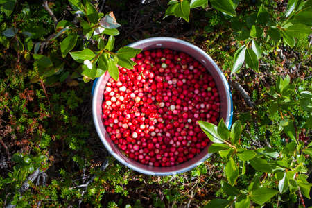 top view pot of lingonberries in the forest.Arctic region