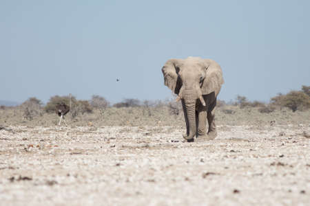 A large elephant walks across the rocky desert right at us, bushes in the background