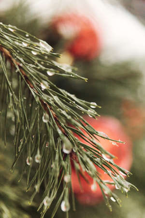 Christmas background green tree branch with water drops and red toy ball at back.