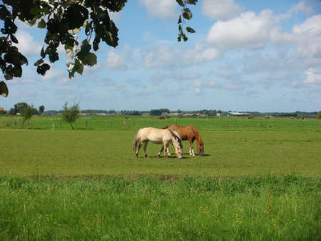 greenfield: Grazing horses in Heiloo Stock Photo