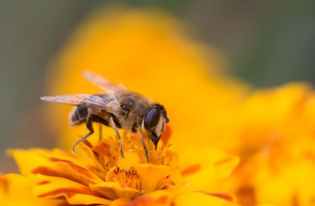 Closeup photo of a bee collecting honey
