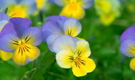 Close up photo of pansy flowers (viola)