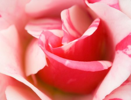 Photo of a beautiful rose