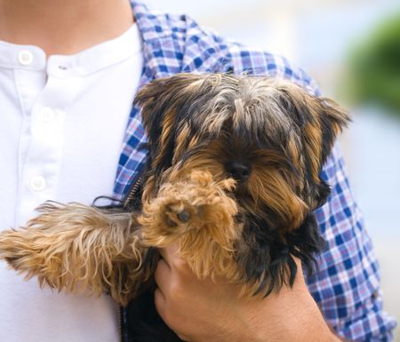Photo of a  yorkshire terrier Stock Photo - 8015105