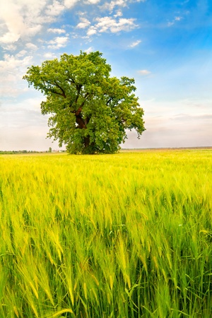 Landscape with a lonely tree in a wheat field under  blue sky - focus on the wheat Stock Photo