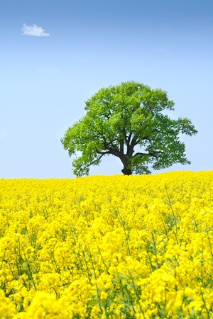Landscape with a lonely tree in a rape field under  clear sky Stock Photo