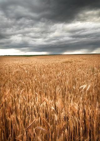 Wheat field under dark sky
