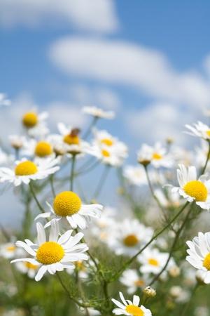 white daisies on blue sky Stock Photo