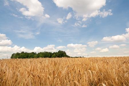 Photo of a wheat field under blue sky