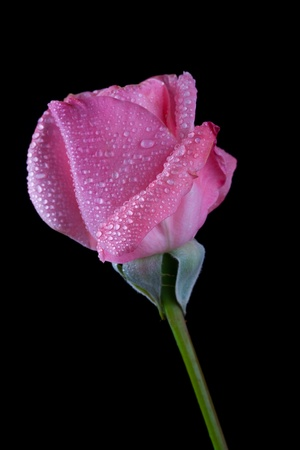 Photo of a rose on black background Stock Photo