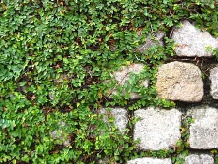 mitzrah: Close Up of Wall of Rock with Tropical Climbing Plant photo