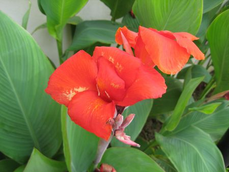 mitzrah: Close-up of a red tropical flower canna (cannaceae liliopsida)
