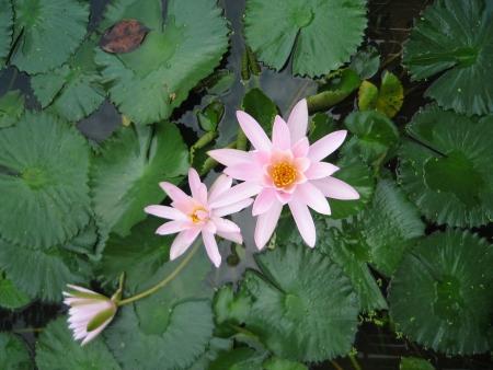 mitzrah: Cluster of White Water Lilies