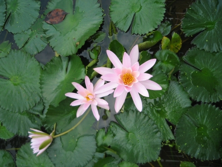 mitzrah: Cluster of White Water Lilies