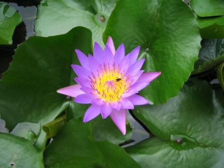 mitzrah: Bright Purple Water Lily Flower
