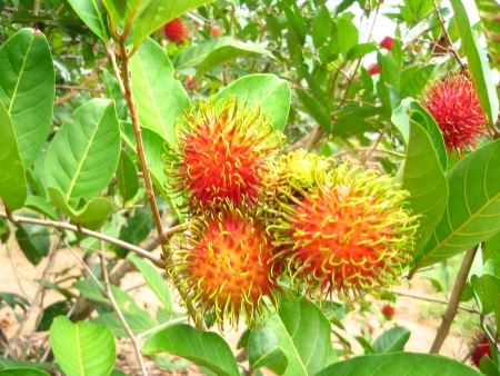 mitzrah: Cluster of Red Rambutans in a Tree Stock Photo