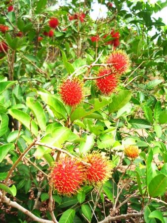 mitzrah: Clusters of Red Rambutans in a Tree
