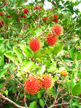 mitzrah: Clusters of Red Rambutans in a Tree