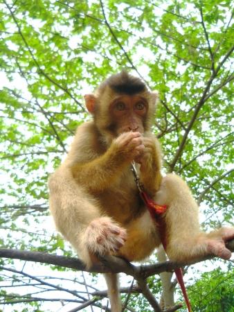 mitzrah: Leashed Captured Pet Monkey Sitting on a Branch