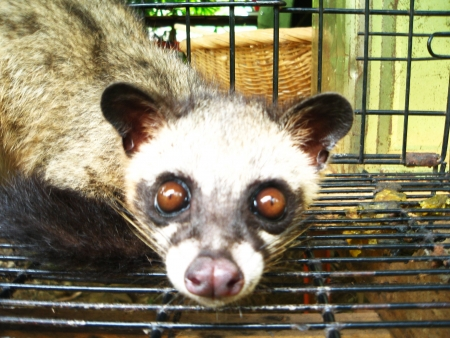 civet cat: mitzrah: Furious Caged Civet Cat