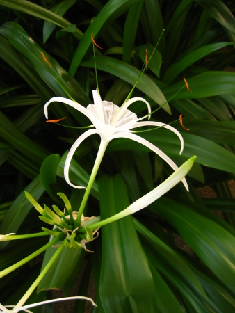 mitzrah: Solitary White Spider Lily Flower Close Up
