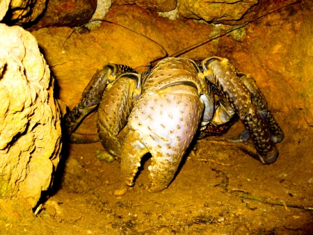mitzrah: Adult Robber Crab Hiding in Natural Habitat Stock Photo