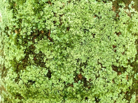 A tree bark infested with lichen and moss.