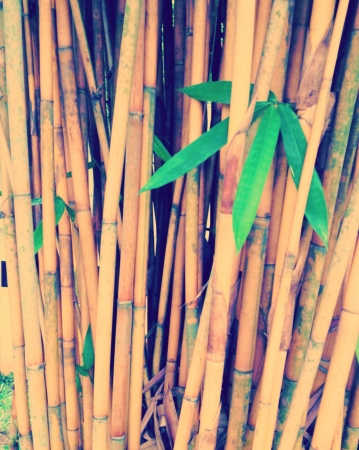 Bamboo trees grow close together in a grove   Stock Photo