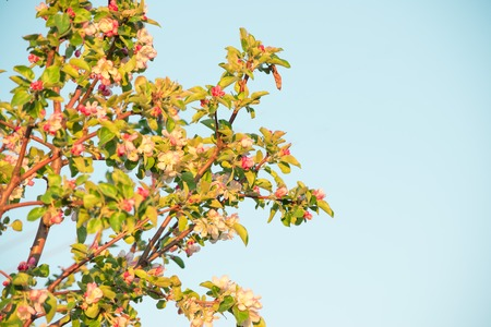 Spring flowers of apple Stock Photo