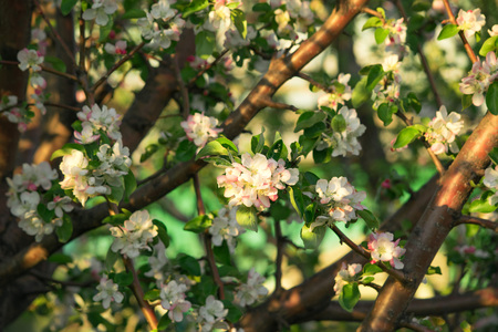White with a pinkish tinge of flowers of an apple tree on a blue background. Spring. Apple tree blooms Stock Photo