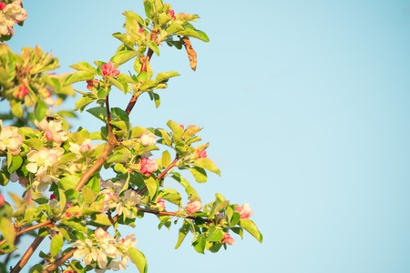 White with a pinkish tinge of flowers of an apple tree on a blue background. Spring. Apple tree blooms. On the right there is space for text Stock Photo