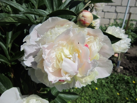 Photo of peony in summer Stock Photo