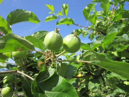 Photo of green apples on the tree Stock Photo
