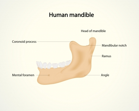 Illustration of human mandible