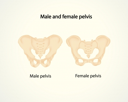 Male and female pelvis Vector