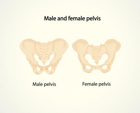 Mannelijke en vrouwelijke bekken