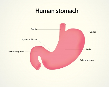 stomach: human stomach Illustration