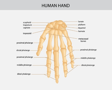 middle joint: illustration of human hand Illustration