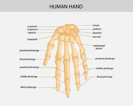 middle joint: illustrazione della mano umana Vettoriali