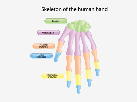 skeleton of the human hand Illustration